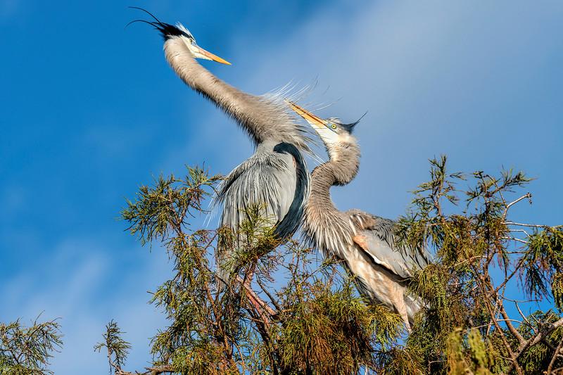Great Blue Herons   #1075