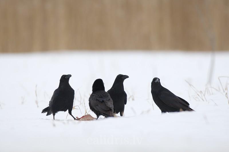 Ravens in snow