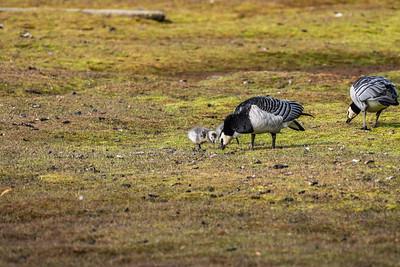 Barnacle Goose [Branta leucopsis]