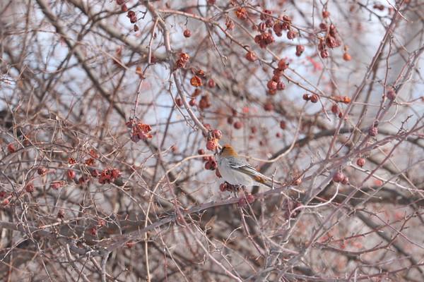 Pine Grosbeak, Cedar and Bohemians