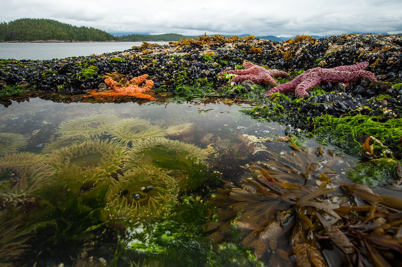Ochre starfish (Pisaster ochraceus), Goose barnacles (Pollicipes polymerus) and California mussel (Mytilus californianus), Giant green anenome (Anthopleura xanthogrammica), rock pool, Vancouver Island, British Columbia