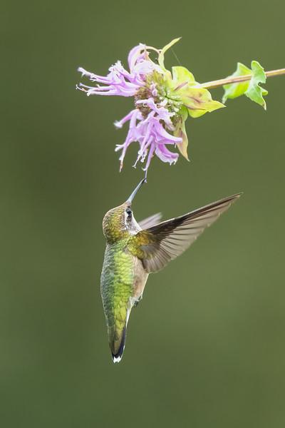 #1732 Ruby-throated Hummingbird
