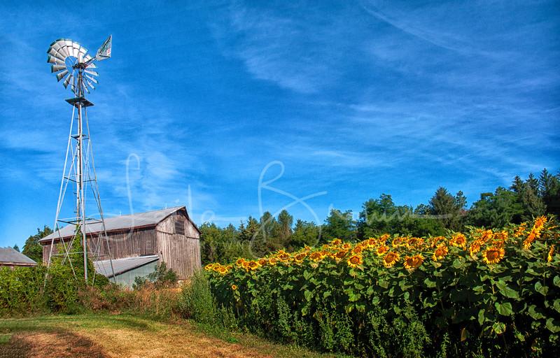 Sunflower barn windmill.jpg