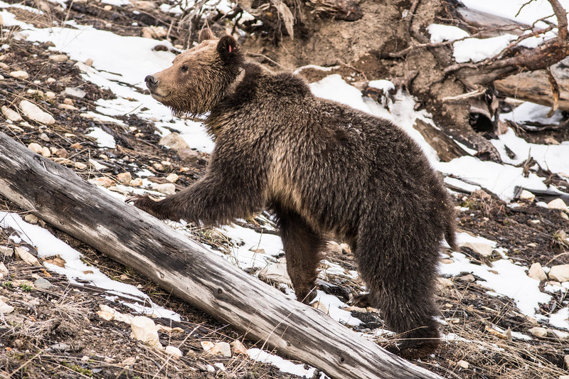 Grizzly sow and cub Yellowstone National Park WY DSC06129.jpg