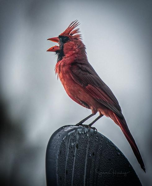 _5000396 Northern Cardinal logo.jpg