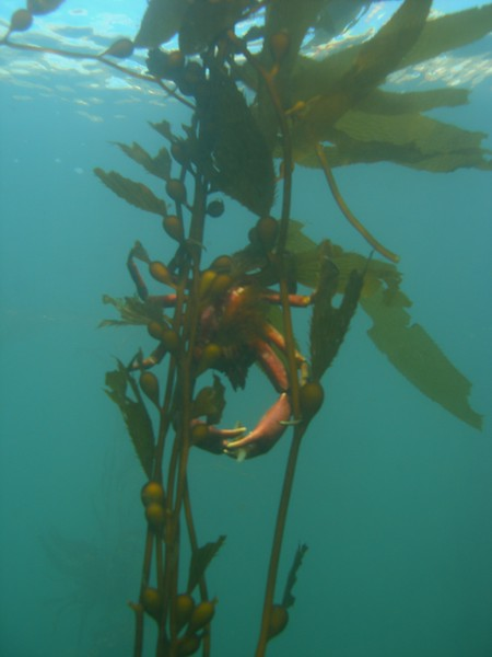 Hanging out for a bite, this Kelp crab was balanced in the swell having it's lunch.