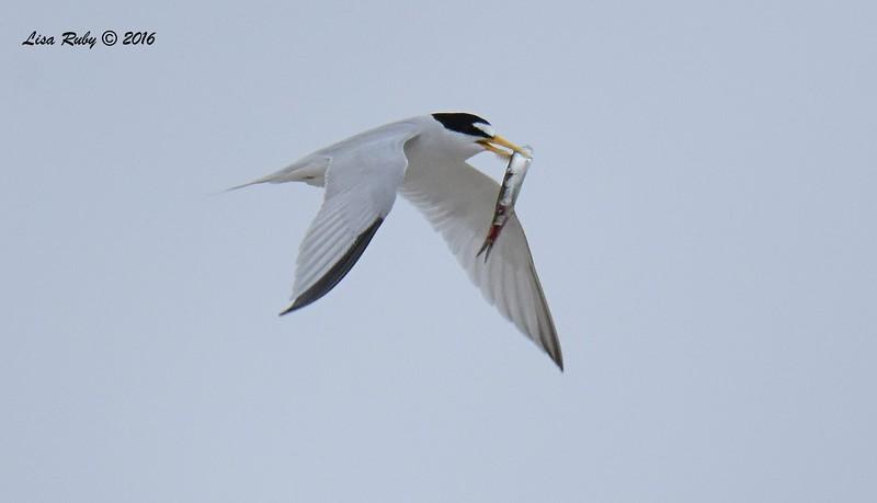 Least Terns - 5/14/2016 - Nesting area coast hwy south Carlsbad