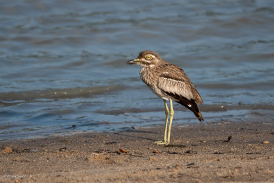 Thick-knee, Water