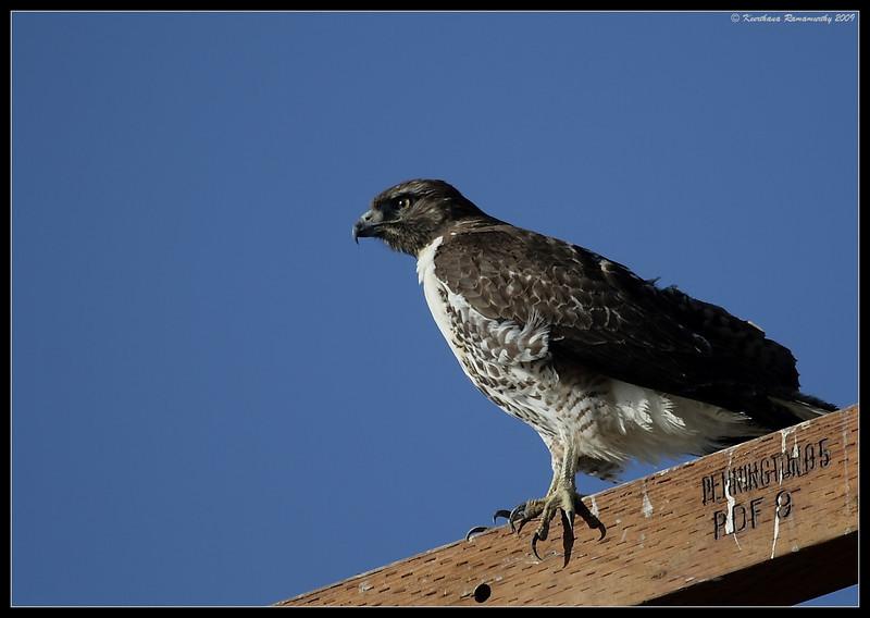 Immature Red-Tailed Hawk, Salton Sea, Imperial County, California, November 2009