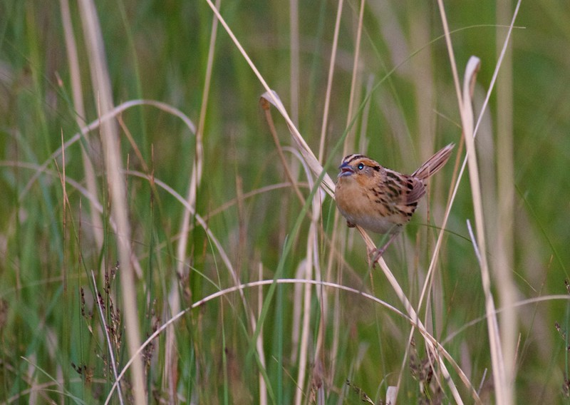 LeConte's Sparrow Oak Hammock Marsh Manitoba IMG_0639.jpg