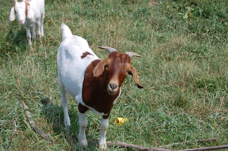 Getting Dennis' Goats
