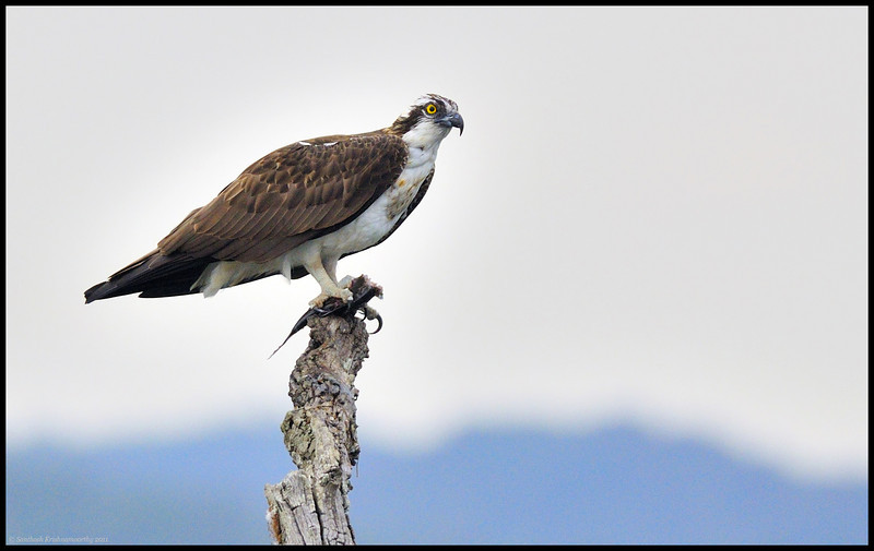 the mighty...Osprey....(fishing eagle)