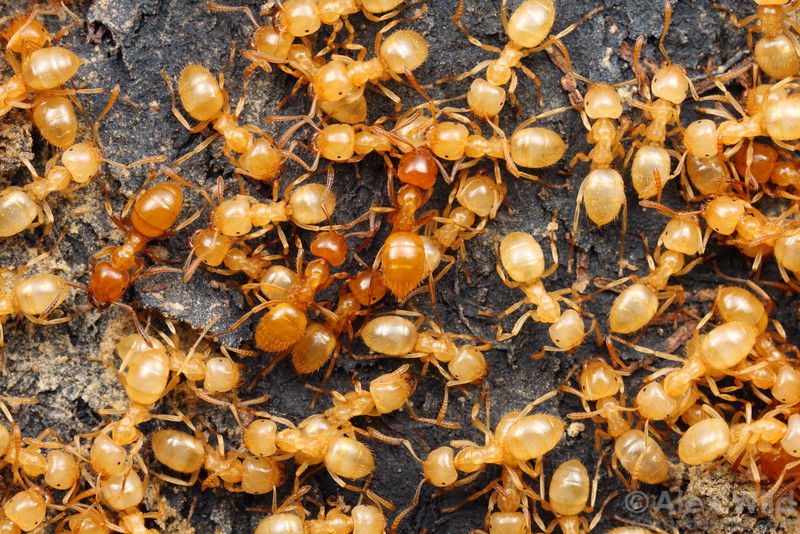Lasius (Acanthomyops) claviger citronella ants.  The different colors of the workers reflect their age.  Ants are pale in color when they first eclose from the pupal stage but darken over time.  Vermillion River Observatory, Illinois, USA