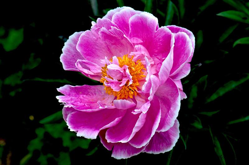 Peony Pink.jpg