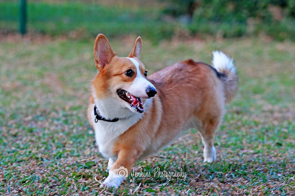 2012-08-19 Corgis at Katong Park