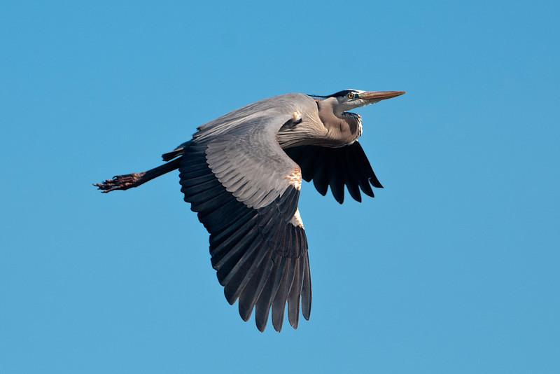 Heron - Great Blue -  Viera Wetlands, FL - 04