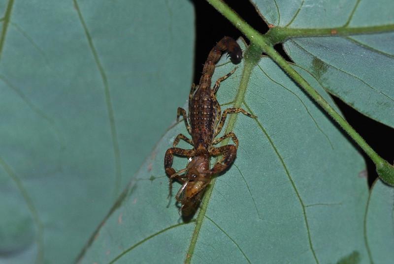 Scorpion - Guyana