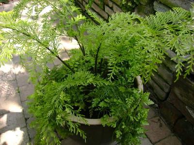 Asplenium bulbiferum plant .jpg