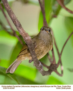 Ochre-bellied Flycatcher A84348.jpg