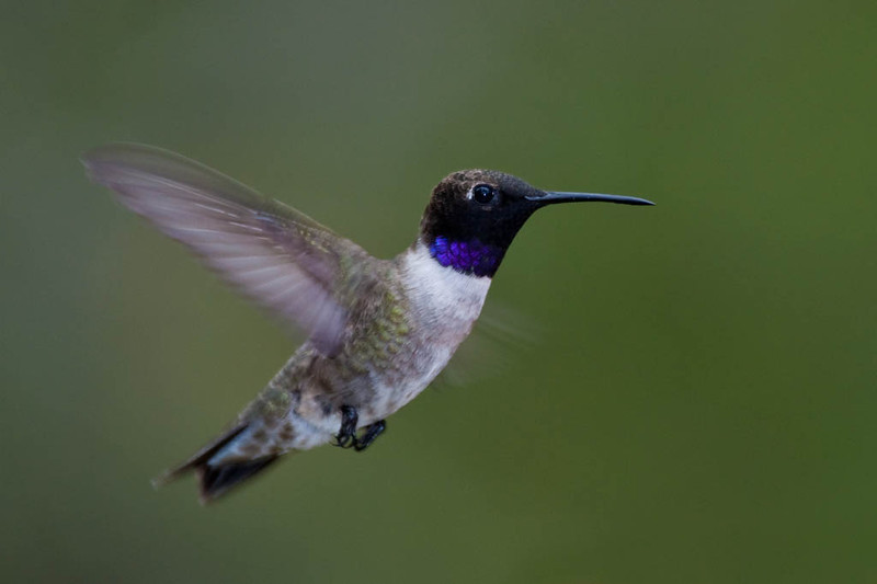 Black-chinned Hummingbird.jpg