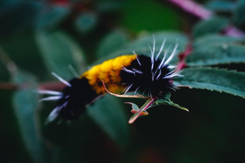 Skagway Caterpillar