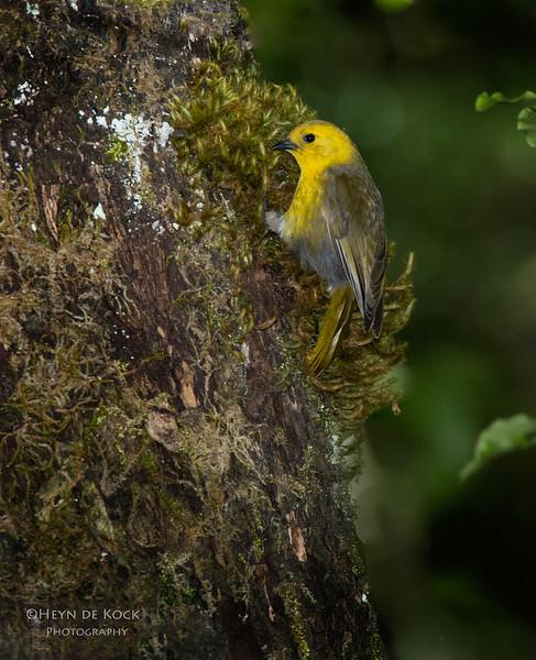 Yellowhead, Ulva Island, SI, NZ, Jan 2013.jpg