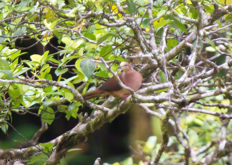 Slender-billed Cuckoo-Dove at OK Menga, Tabubil, Papua New Guinea (10-09-2013) 1832.jpg