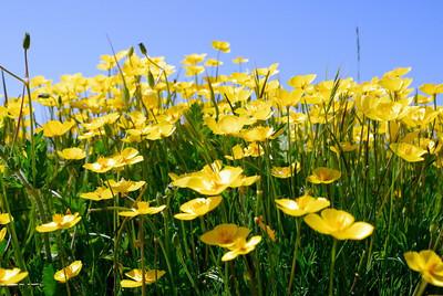 Foothills Wildflowers