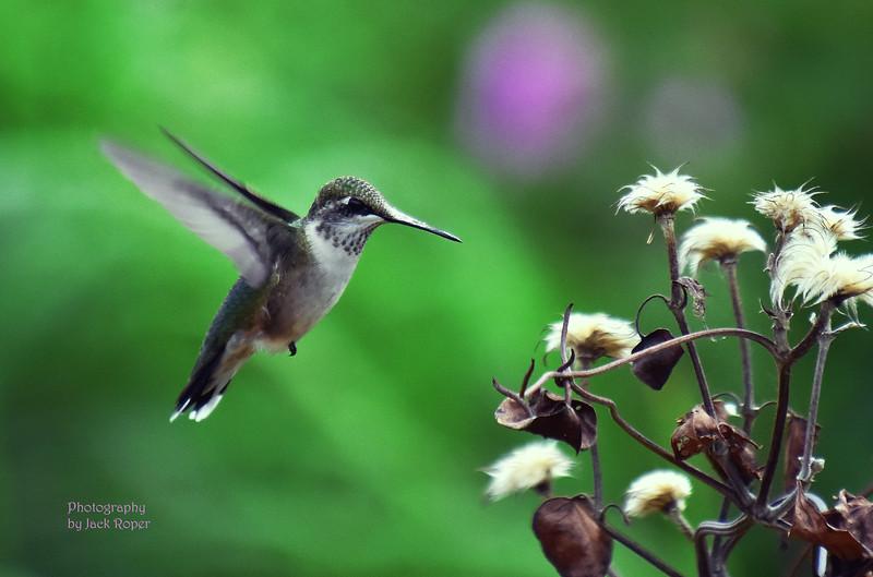 Humming bird mid air.jpg