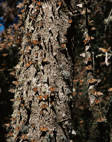 Monarch Butterfly Biosphere Reserve, Michoacan, Mexico / Monarch Butterflies, Danaus plexippus, on tree trunk under coniferous forest, Sierra Chincua. 12002V2
