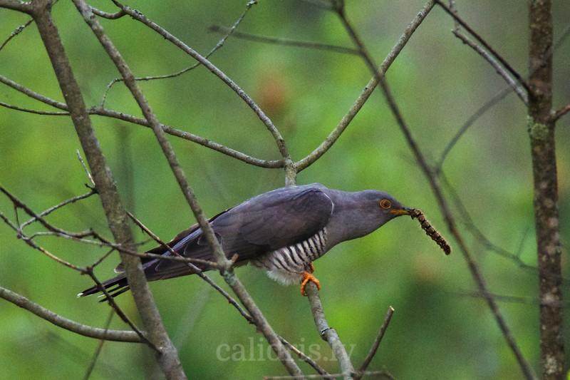 Common cuckoo / Dzeguze
