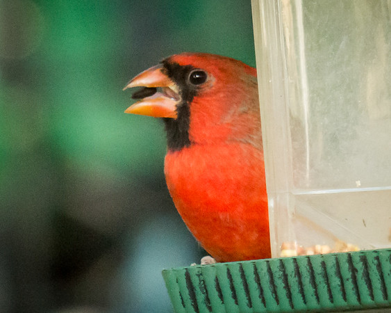 BACKYARD BIRDS-BUTTERFLIES, CARDINALS,DRAGON FLIES, FLOWERS, HUMMERS, & SQUIRRELS