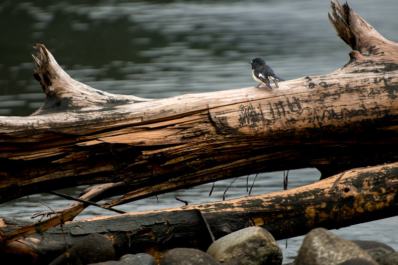 Black bird on a log Milford Sound-1.jpg