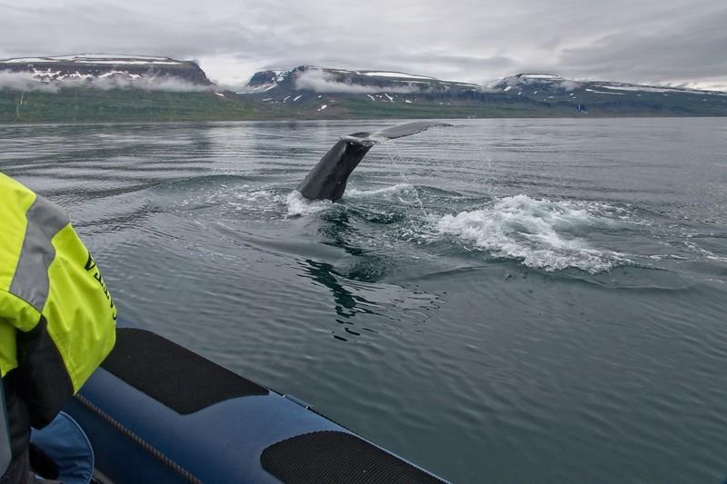 whale isafjordur 3 copy3.jpg