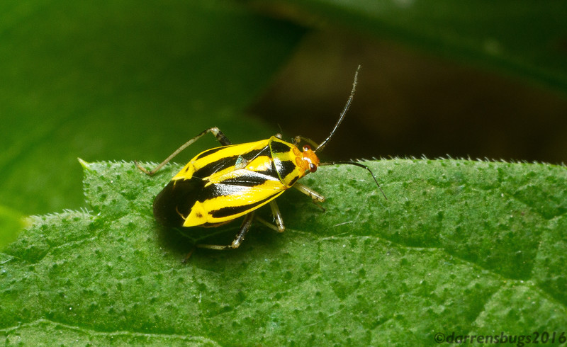 Four-lined plant bug, Poecilocapsus lineatus, from Roseville, Minnesota.