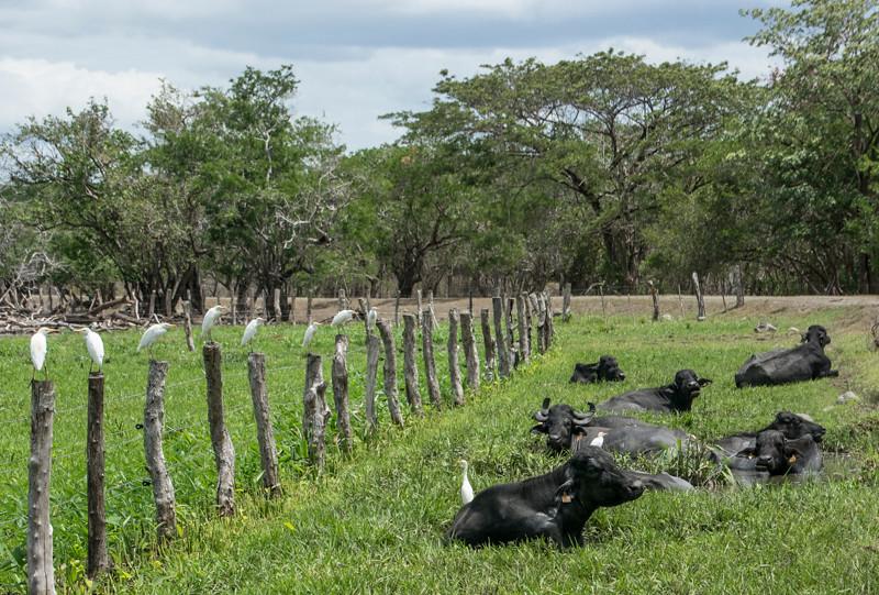 Costa Rica_Animals_Cape Buffalo-5.jpg