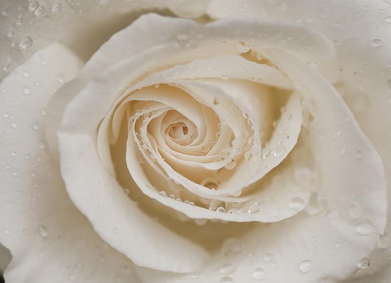 White Rose-1.jpg