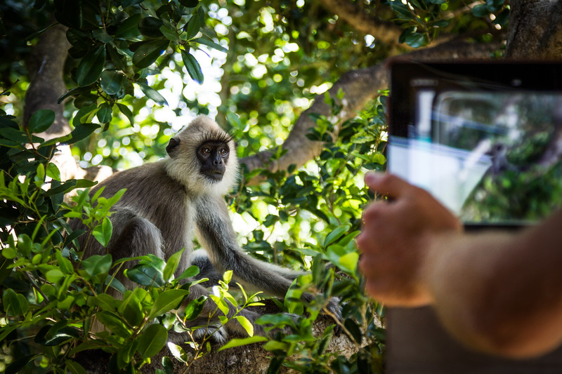 Grey Langur / Hanuman Langur, (Semnopithecus entellus) feeding, tourists taking photos on tablets, Yalla National Park, Sri Lanka