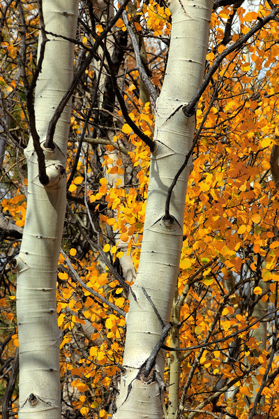 Aspen near Bassam Ridge, CO.jpg