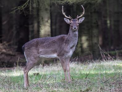Fallow Deer ~ Dådyr