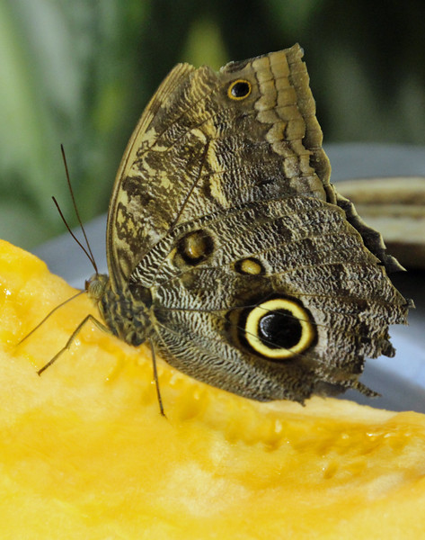Yellow-fronted Owl-butterfly