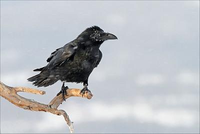 Ravn - Common Raven