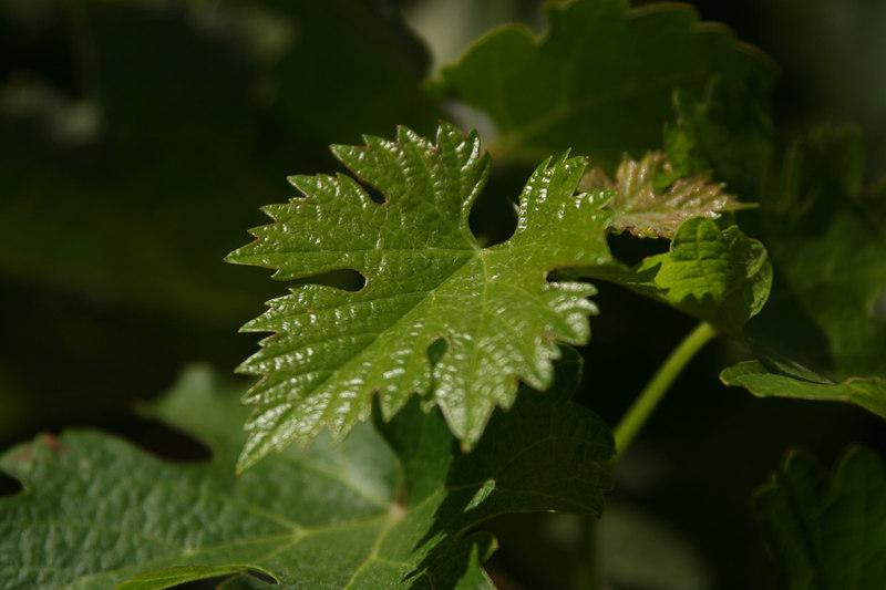 a leaf.jpg