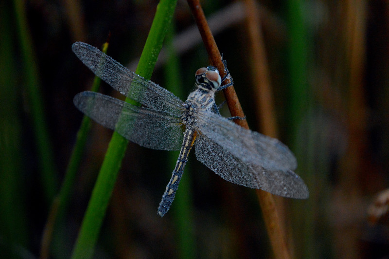 Dragonfly-dew-covered-wings.jpg