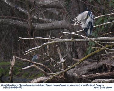 Great Blue Heron & Green Heron A80849+875.jpg
