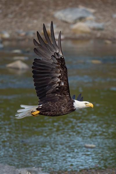 #1198 Bald Eagle
