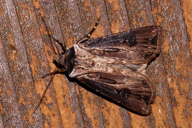 Dart - Venerable - (Agrotis venerabilis) - Dunning Lake - Itasca County, MN