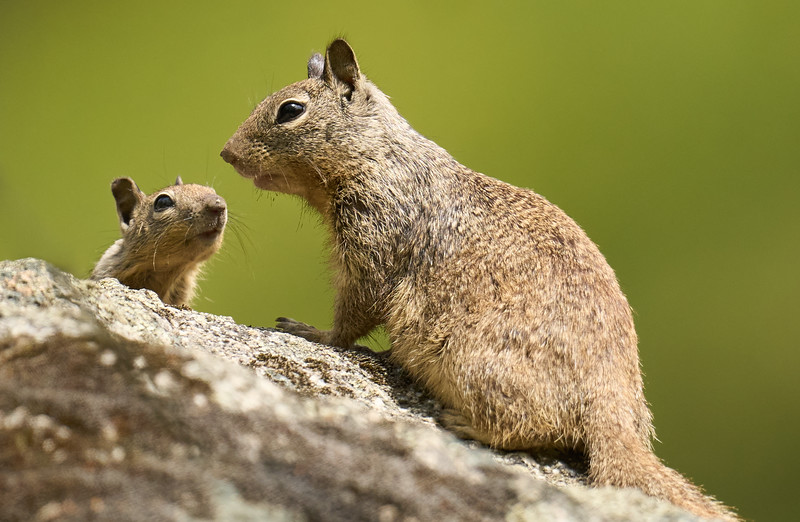 Baby Ground Squirrel with Mom