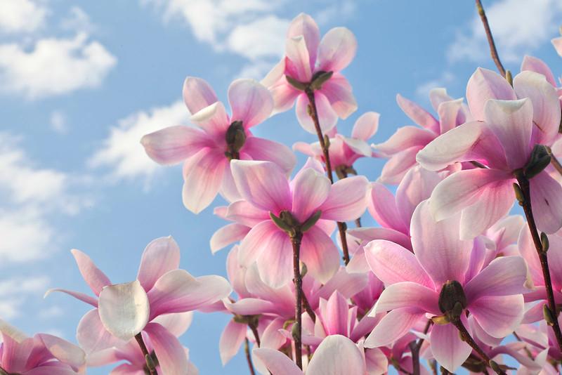 Magnolias12-0833-Edit copy.jpg