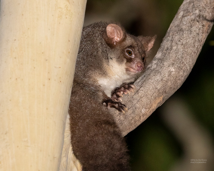Northern Greater Glider, Hidden Valley, QLD, Jan 2020-3.jpg